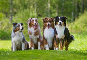 Distansutbildning i hundavel och genetik Kursstart 2020-08-26