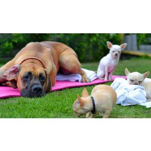 Mera mentalitet - förstå, tolka och påverka hundars beteende