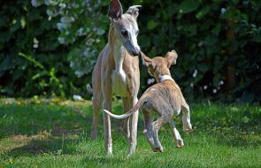 Distanskurs hundens beteende